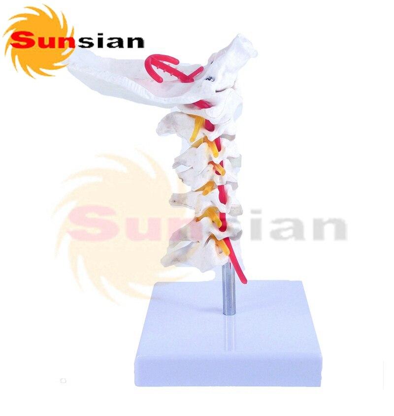 Columna Vertebral Cervical cuello modelo modelo de hueso, esqueleto ...