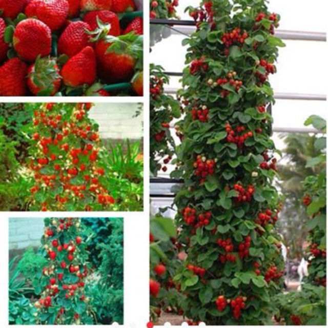 Red 200pcs NON GMO Organic Strawberry Climbing Strawberry Fruit Plant Seeds  Home Garden Seeds