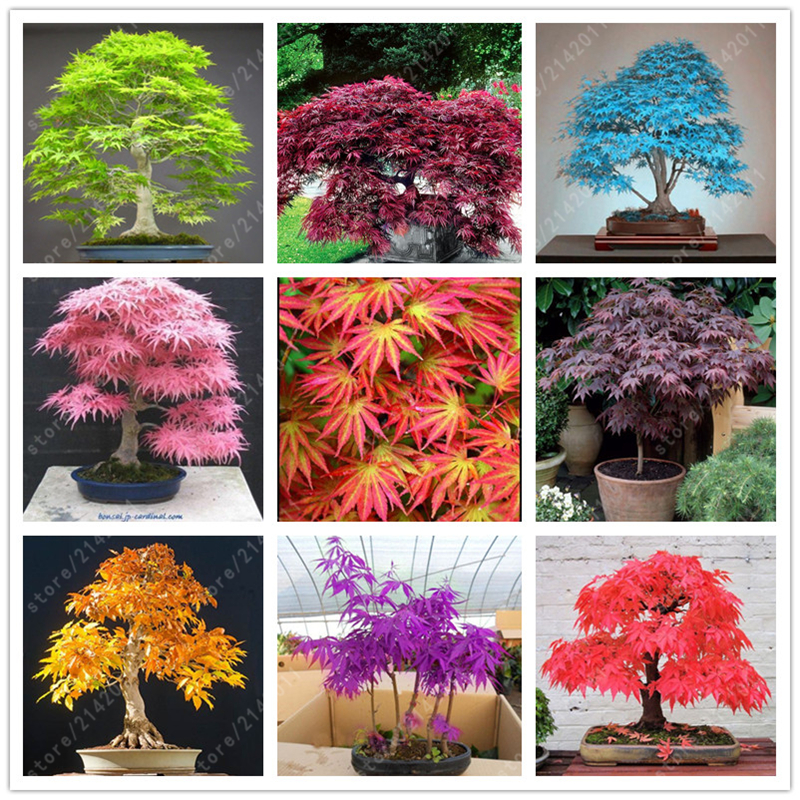 20 pcs bag japanese maple seeds toronto maple leafs tree seeds Perennial ornamental plants fire maple bonsai tree garden plant