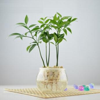 office desk mini bonsai tree nageia seeds flower seeds houseplants lucky bamboo 5 seeds bonsai tree office table