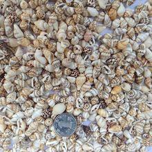 250pcs/lot Natural Mini Sea Shell small sea conch for DIY home decoration Aquarium Supplies Natural shells conch DIY