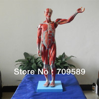 Vivid Full Body Muscle Model With Internal Organs