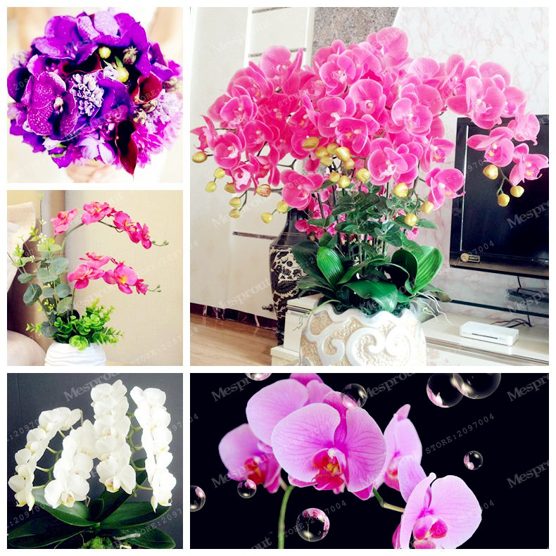 24 colors phalaenopsis seeds office rare orchid seed perennial flowering plants potted charming orchid flowers seed charming office plants
