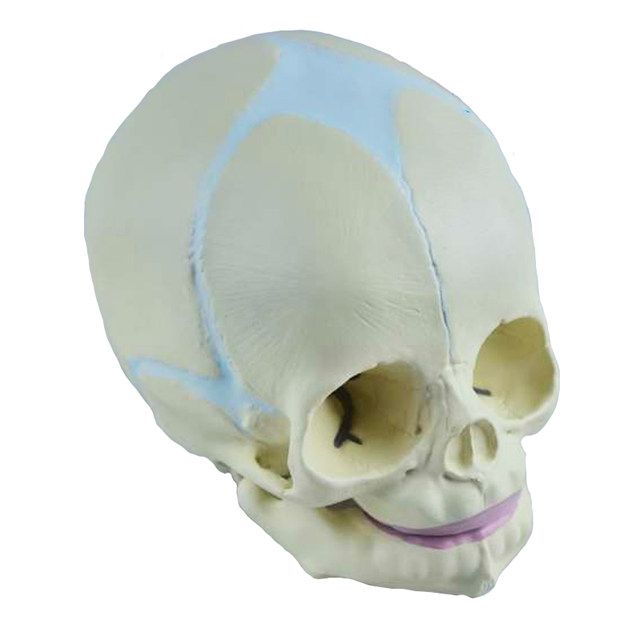 Online Shop 11 Human Fetal Baby Infant Medical Anatomical Skull