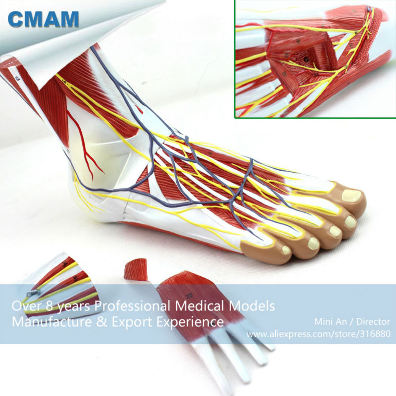 12036 CMAM-MUSCLE12 Human Foot Plantar Muscle Anatomy Model in 3-Parts cmam viscera01 human anatomy stomach associated of the upper abdomen model in 6 parts