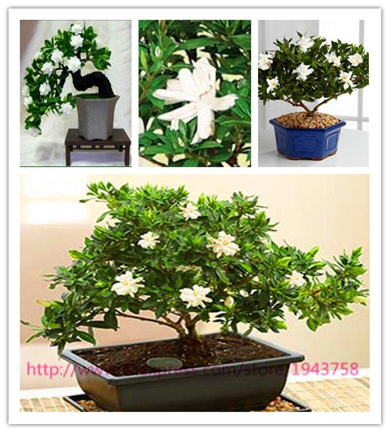 100 Gardenia Seeds (Cape Jasmine )-DIY Home Garden Potted Bonsai, amazing smell & beautiful flowers, Free Shipping