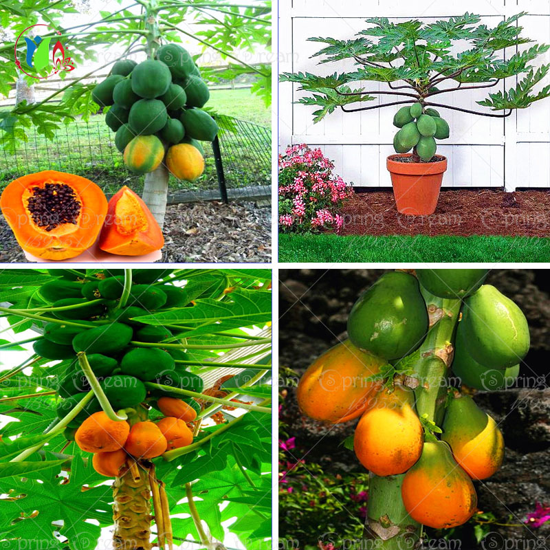30pcs/bag Fruit seeds Bonsai plant Yellow Gold Papaya seeds Delicious Fruit, seeds Unique Very Rare home garden plant seeds