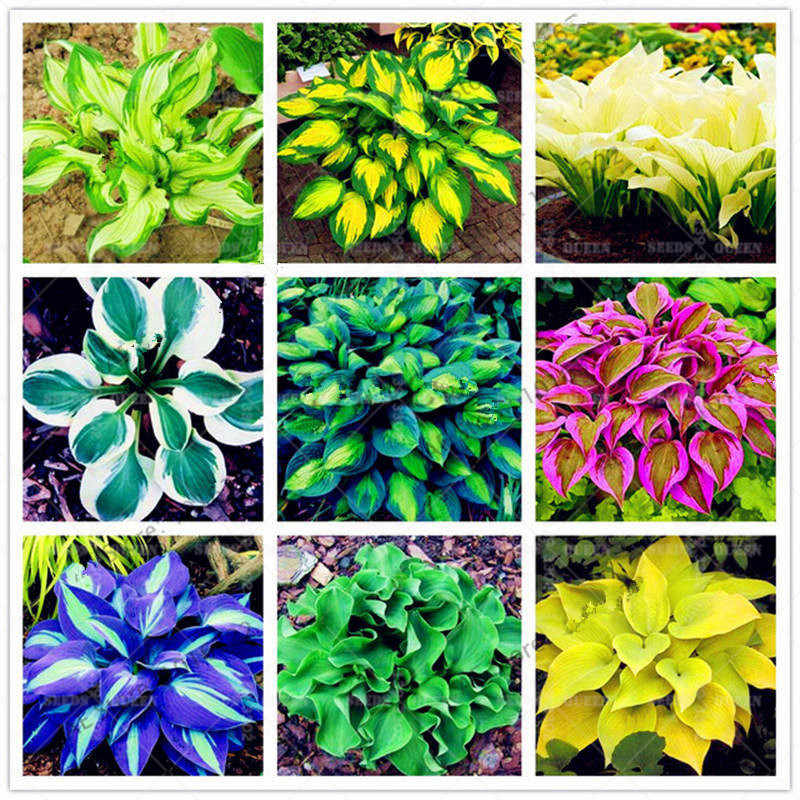 Detail Feedback Questions About 200pcspack Japanese Hosta Bonsai