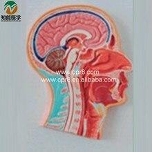 BIX-A1044 Human Head Anatomical Model (Plastic Human Head Model)     MQ204