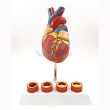 Life Size Human Heart Anatomy Model With 4 Stage Vascular Mounted on White Base Cardiac Learn