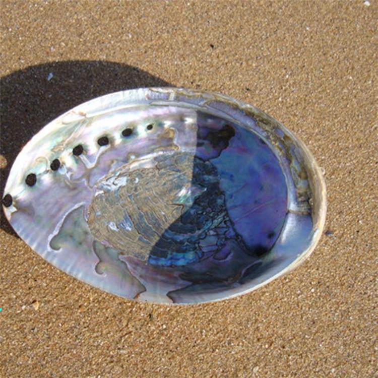 1PCS 12-14cm Haliotis Roei Haliotis Ovina Ass\'s Ear Abalone Super Natural Conch Sea Shell Home Wedding Decoration Natural Crafts5