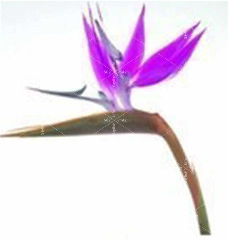 100 Pcs Strelitzia bonsai สวนไม้ยืนต้นดอกไม้พาราไดซ์ Paradise พืช Strelitzia ในร่มบอนไซ Orchid ดอกไม้ Blooming พืช
