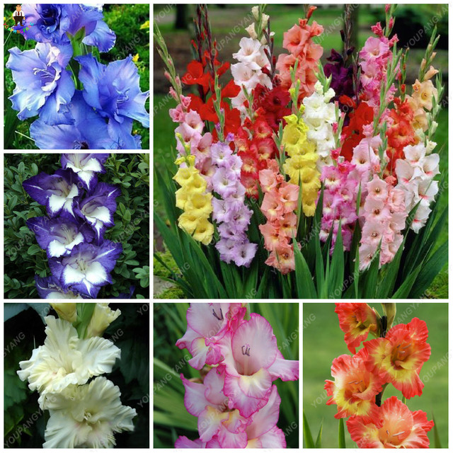 50PCS Rare Striped Gladiolus Sword Lily Garden Plantas Flowers Orchid Gladiolus Bonsai plants Gandavensis High Survival Rate