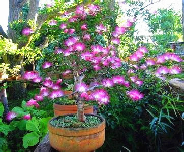 30 albizia flower mimosa seeds rare silk tree bonsai tree for indoor plant can put on - Silk Trees