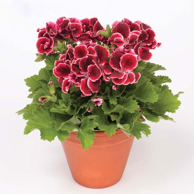 Maceta con planta con geranios casa dise o casa dise o for Plantas en macetas