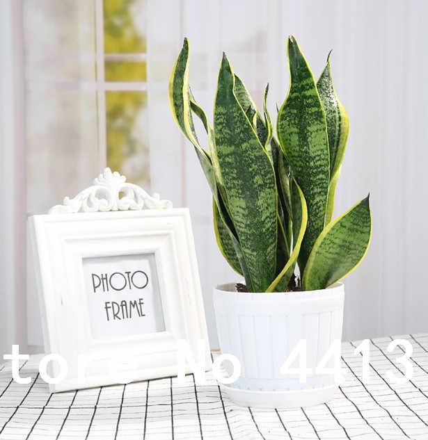 100 Pcs Del Serpente della Pianta dei Bonsai Succulente Perenne Fogliame Piante Purificare L' Aria e Protezione Dalle Radiazioni Per La Casa Decorazione del Giardino