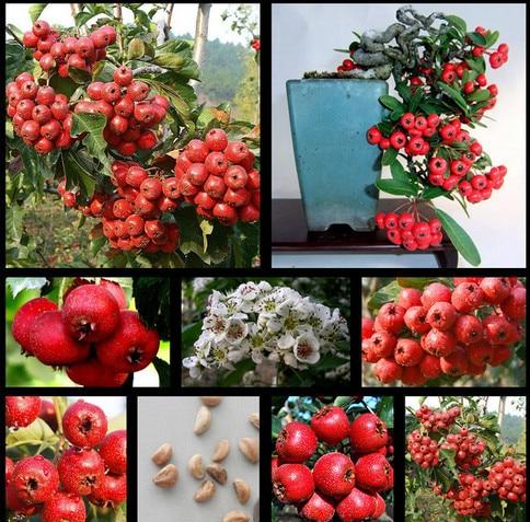 30Pcs Rare Hawthorn Heirloom Bonsai Moon Flower Tree Seeds
