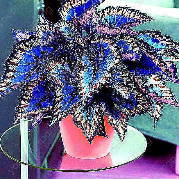 100 قطعة Janpanse بونساي Coleus النباتات أوراق الشجر لون مثالي قوس قزح التنين بونساي جميلة زهرة النبات حديقة الديكور