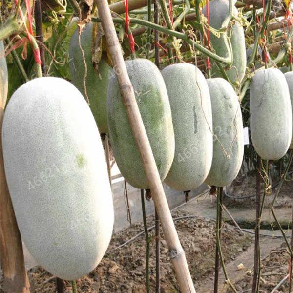 20 قطعة العملاق الشتاء البطيخ بونساي الصين الأخضر العضوية بيننكاسا hispida ل مزرعة الشمع القرع الخضار للمنزل نباتات للحديقة