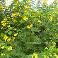authentic surattensis plant tree plant tree plant Jinfeng gold drug locust bean tree plant real shot 200g / Pack
