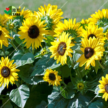 Dwarf Sunflower , ornamental flower Bonsai potted plants for garden balcony 20pcs/bag seeds