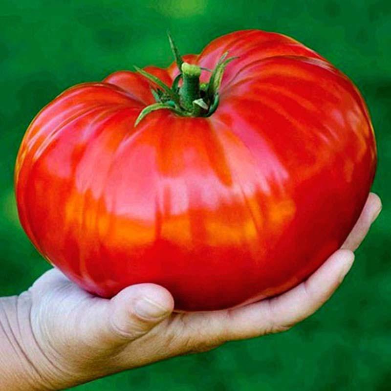 50 шт./пакет бонсай помидор, Томаты Черри, без ГМО овощи съедобный еда балконные горшки садовые растения A63
