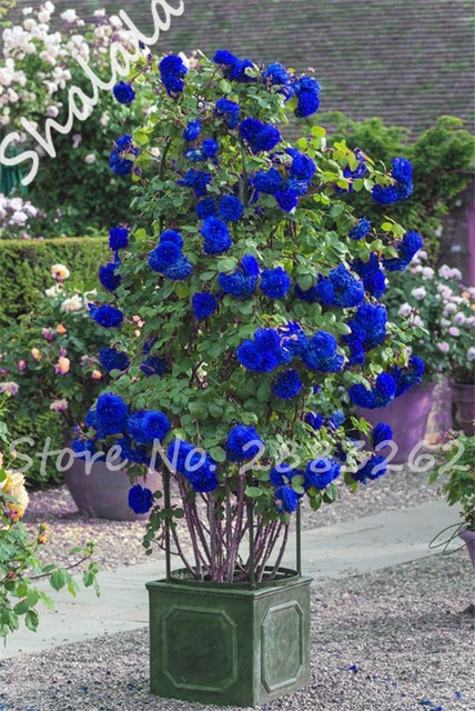 50 pcs blue chinese lovely rose tree climbing plant seeds for Decoration jardin chinois