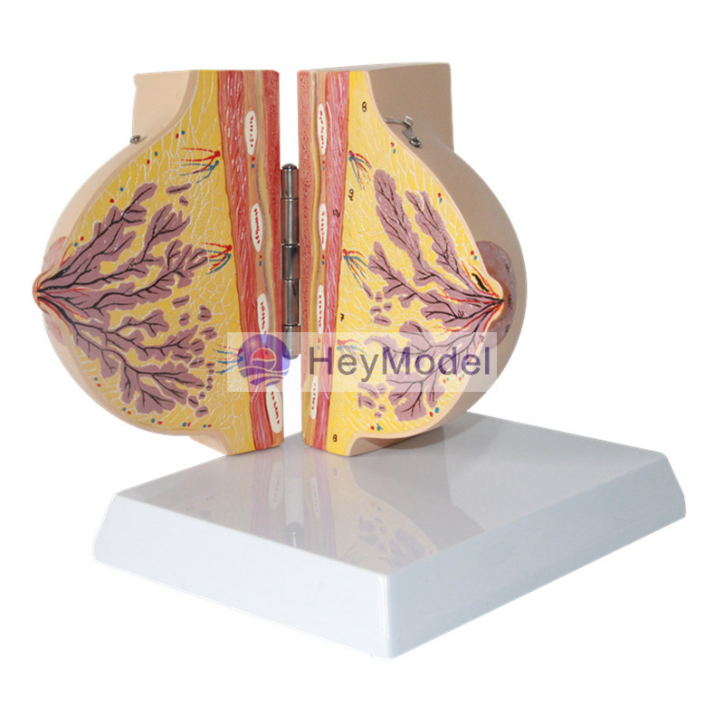 HeyModel Mammary Gland in Resting Period -in Educational Equipment ...