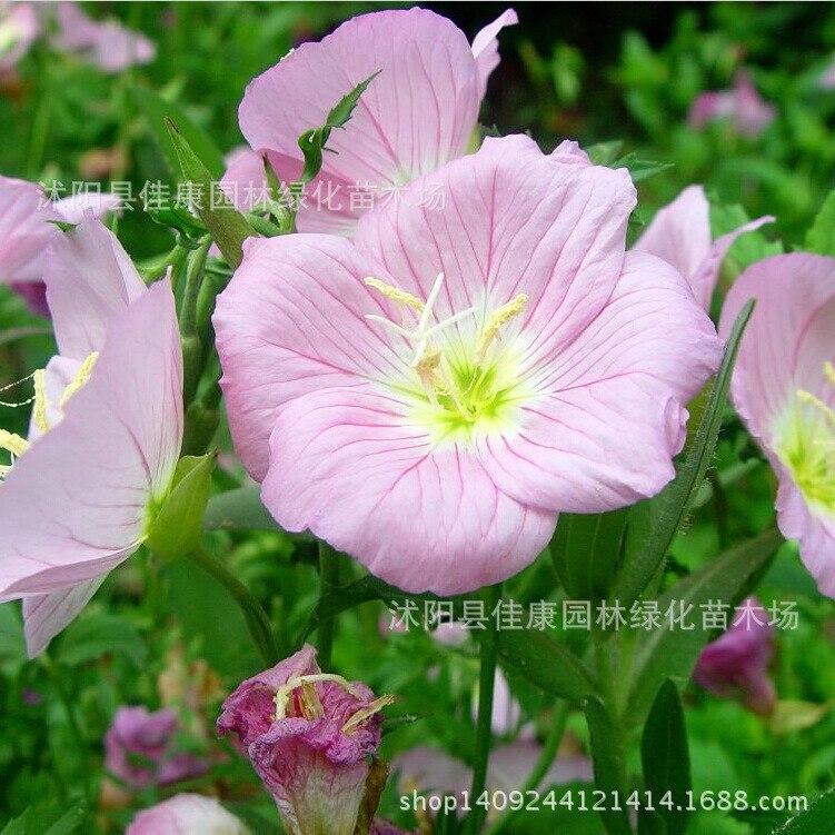 Blume Schöne Abend Primroplante Graplantplant Zu Werden Himmel Echt Planthot 200 Gr/paket Fortgeschrittene Technologie üBernehmen