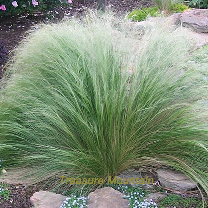 Popular stipa grass buy cheap stipa grass lots from china for Ornamental feather grass
