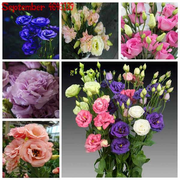 100Pcs Rare Colore Echinacea Purpurea Bonsai, Della Miscela Echinacea Fiore All'aperto Ratibida Echinacea Appariscente Molto Lungo-fiore Echinacea