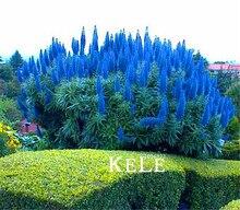 100 Pcs/Lot Sale!Outdoor Plants  Pride Of Madeira Seeds – Echium Fastuosum ~impressive~~,diy Home Garden Flower seeds