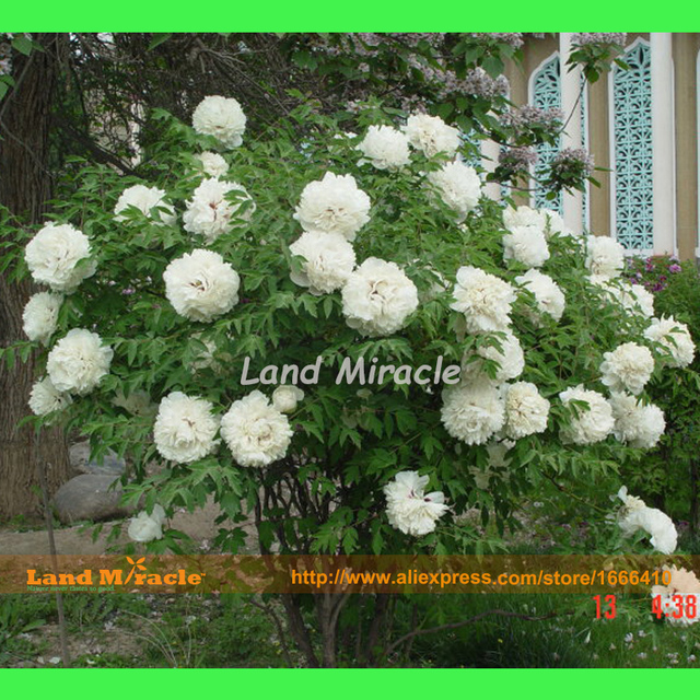 Perennial shrub tree peony white peony flower plant seeds 5 seeds perennial shrub tree peony white peony flower plant seeds 5 seeds beautiful garden flowers mightylinksfo