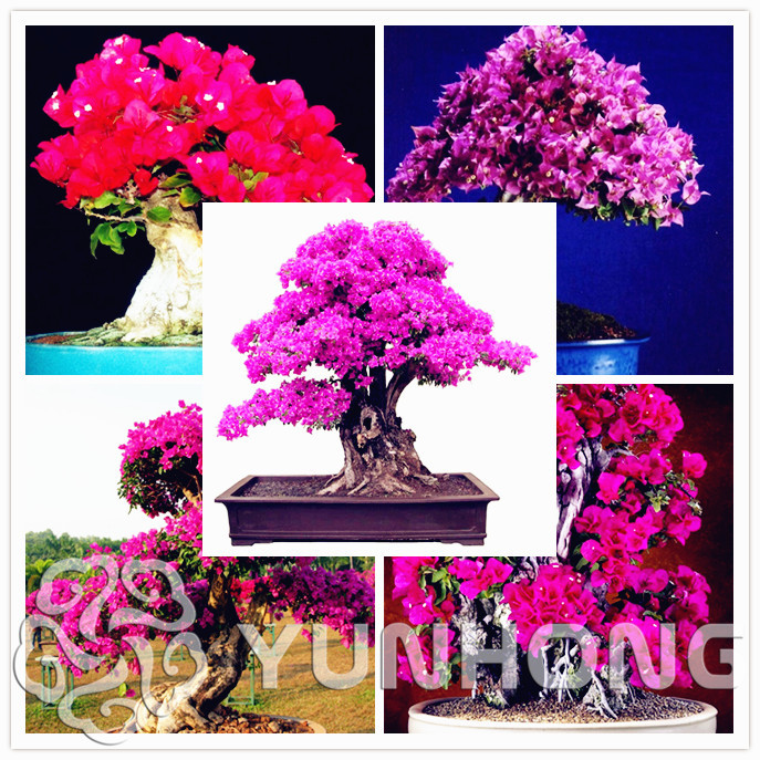 100 Pcs/bag Original High Quality Bougainvillea Willd Flowers Bonsai Mix-color Spectabilis Bonsai Pot For Sale Free Shipping
