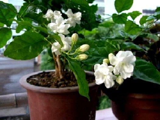 Bonsai Hot 20seeds Pack White Jasmine Potted Garden Flowers Indoor Or Outdoor Plant Easy To Grow In From Home On Aliexpress