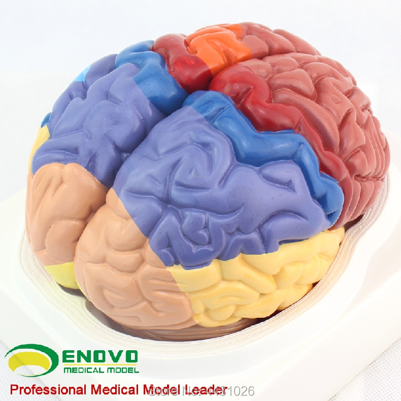 ENOVO A model of brain tissue anatomy in the brain model of cerebral ...