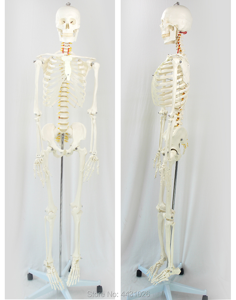 ENOVO 170 cm menschliches skelett modell medizinische wissenschaft ...
