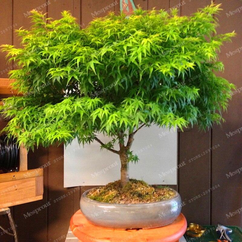 Japanese Maple Bonsai Tree Cheap Bonsai Mini Bonsai Very Beautiful Indoor Tree Bonsai Garden Plants 20pcs Buy At The Price Of 0 39 In Aliexpress Com Imall Com