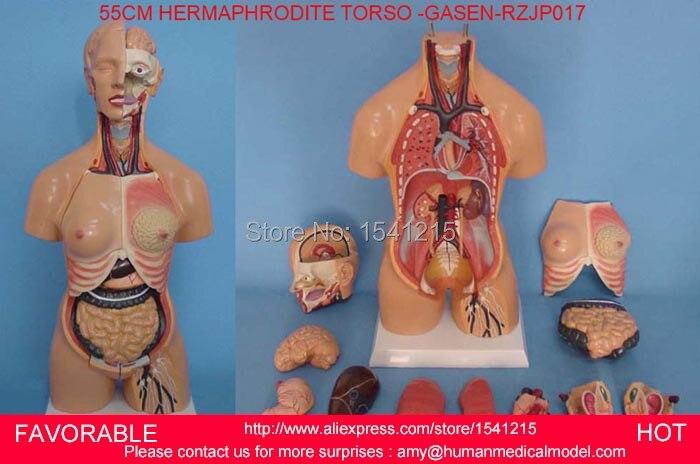 HUMAN TORSO MODEL,FAMALE/MALE TORSO WITH INTERNAL ORGANS,ANATOMICAL ...