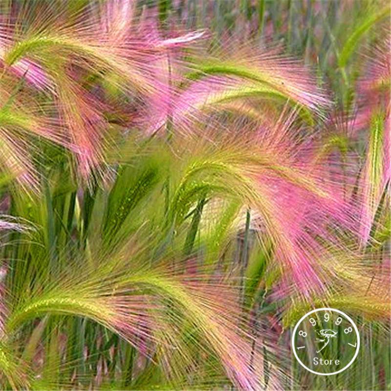 โปรโมชั่น! 100 ชิ้น/แพ็ค Foxtail Barley ประดับบอนไซ (Hordeum jubatum), สวนดอกไม้