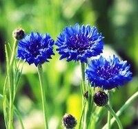 50 Blue Cornflower garden Flower Seeds Centaurea Cyanus Centaurea Moschata A056