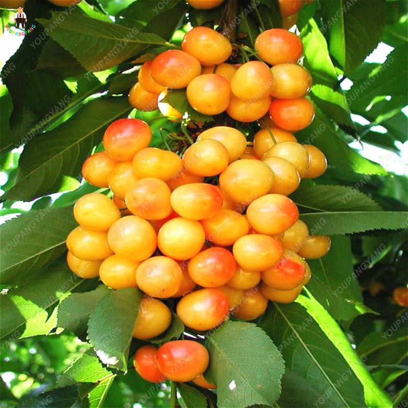 10 قطعة الكرز الأحمر بونساي حديقة في الشرفة الفاكهة أصائص زرع الكرز الفواكه العضوية ل ديكور حديقة المنزل