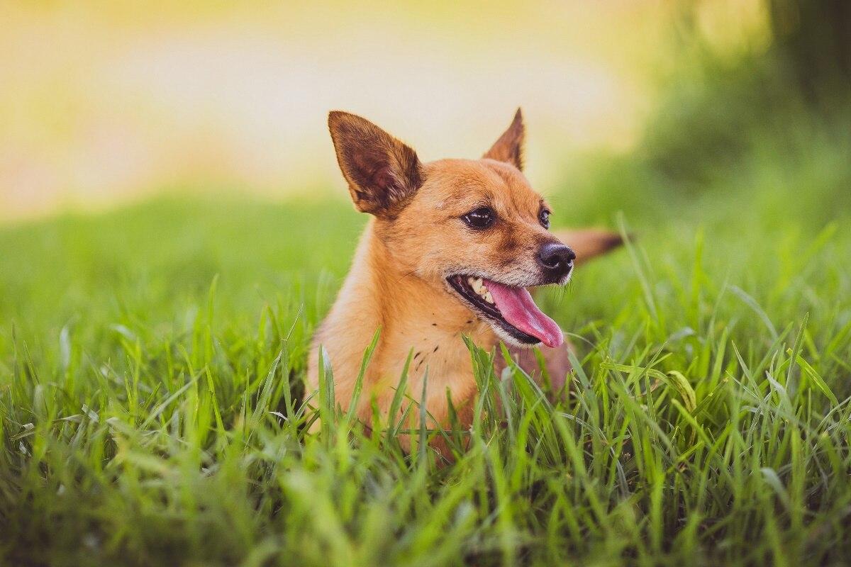 Leuke Posters Woonkamer : Hond uitgestoken tong gras leuke dier kd woonkamer thuis wall