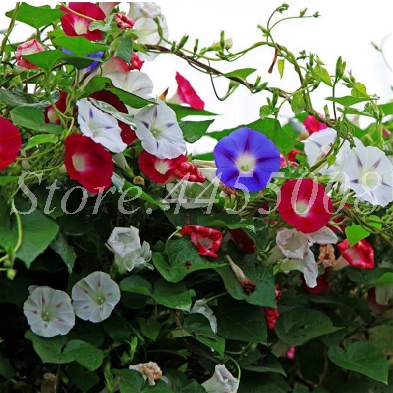 100 Pcs Hanging Flower Mixed Morning Glory Bonsai Rare Color Petunia Flower Potted Plant For Home Garden Decor Easy Grow