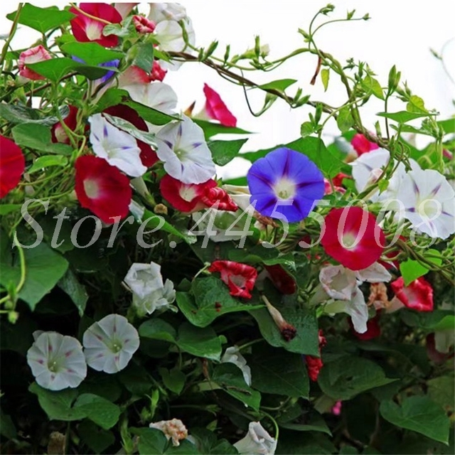 100 pz Attaccatura Del Fiore Misto Morning Glory Bonsai Raro Colore Petunia Fior