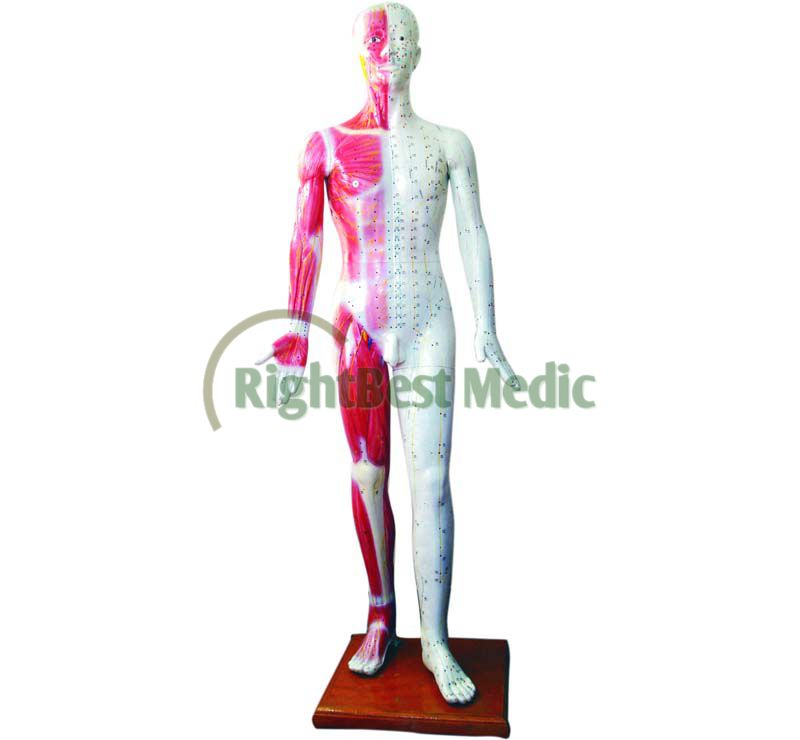 Deluxe English Medical Male Human Acupuncture Model 178CM Acupoints & Muscle Model free shipping english medical female human body acupuncture point model 48cm
