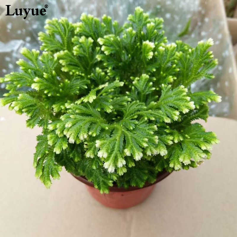 2018 New Moss  Subtropical Magic Plant Artificial flowers flower Rose  Dinosaur Plants Air Fern Selaginella moss