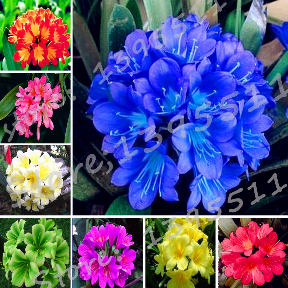 1bag100 pcs cheap clivia seeds clivia potted seed bonsai balcony 1bag100 pcs cheap clivia seeds clivia potted seed bonsai balcony flower home garden free shipping in bonsai from home garden on aliexpress izmirmasajfo