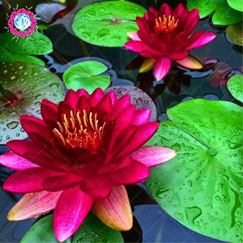 5pcs pack blue lotus