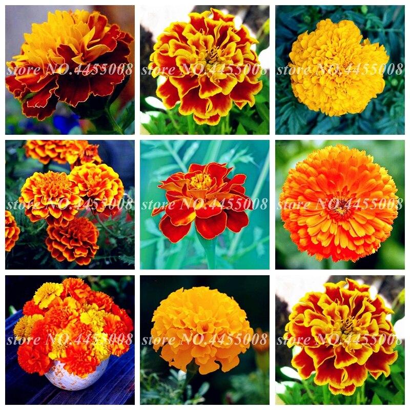 Африканский календулы французский открытый Marigold трав цветок хризантемы бонсай Бархатцы Flore для дома садовое насаждение 500 шт./пакет